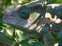 Fig. 8. This Globifer's Chameleon seeks out dappled shade