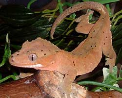 Fig. 16: crested gecko in shade. Photo courtesy of Angi