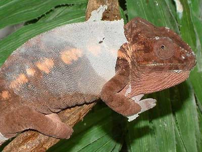 Fig. 4:  female panther chameleon shedding