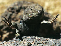 Fig. 6. Gallotia galloti male basking on hot lava, Tenerife
