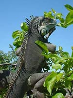 Fig.9. Green iguana turns his skin black, absorbing sunlight in Derbyshire, UK.  Photo courtesy of Steve Woodward
