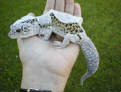 Fig. 2:  leopard gecko shedding entire skin