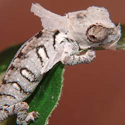 Fig. 1:  baby oustalet chameleon shedding