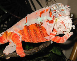 Fig. 14: Male panther chameleon shedding