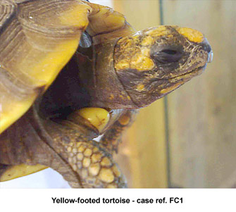Fig. 2: photo-kerato-conjunctivitis - yellow-footed tortoise