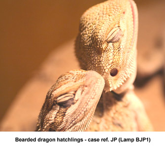 Fig. 1. Photo-kerato-conjunctivitis - bearded dragons